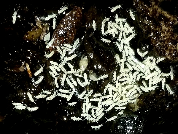 Springtails (Collembola)