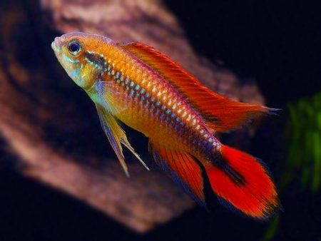 Apistogramma agassizii «Super Red»