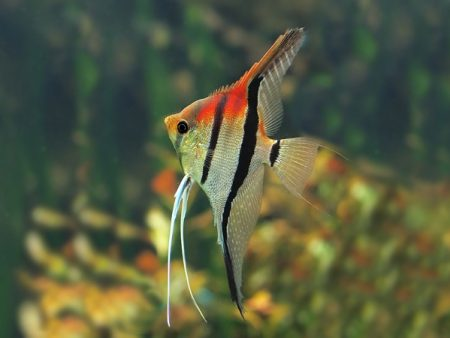 Manacapuru Red Shoulder Angelfish
