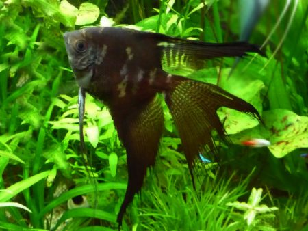 Smoke Longfin Angelfish