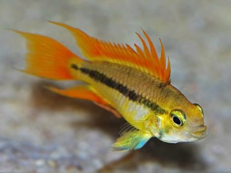 Apistogramma cacatuoides «Orange»