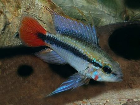 Apistogramma erythrura «Red Tail»