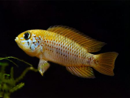 Apistogramma sp. Red Point