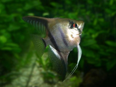 Common Angelfish