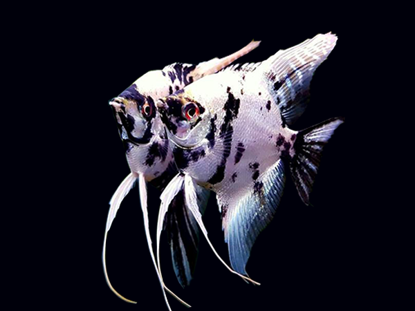 Dalmatian Angelfish