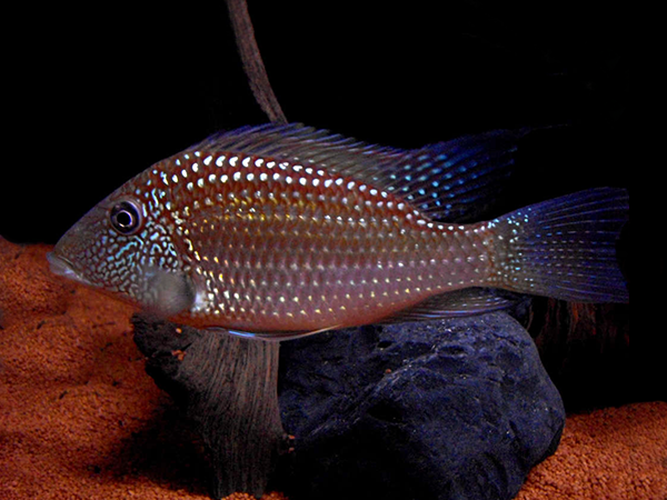 Geophagus brasiliensis «Red»