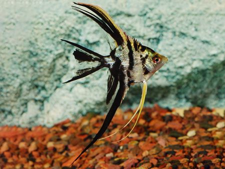 Marble Longfin Angelfish