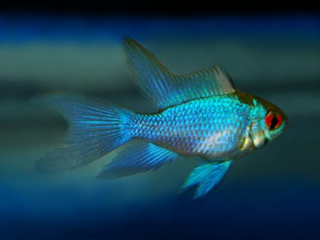 Mikrogeophagus ramirezi «Electric Blue Long Fin»