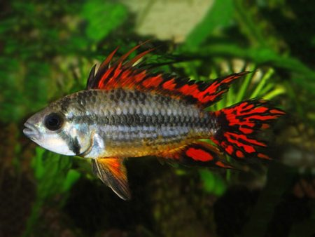 Apistogramma cacatuoides «Double Red»