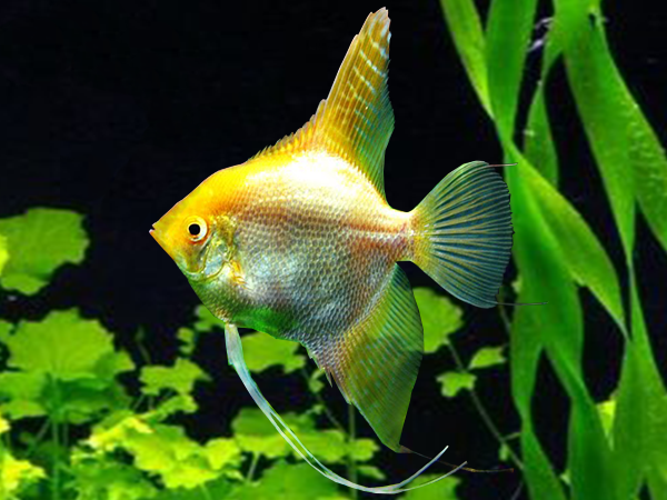 Gold Angelfish