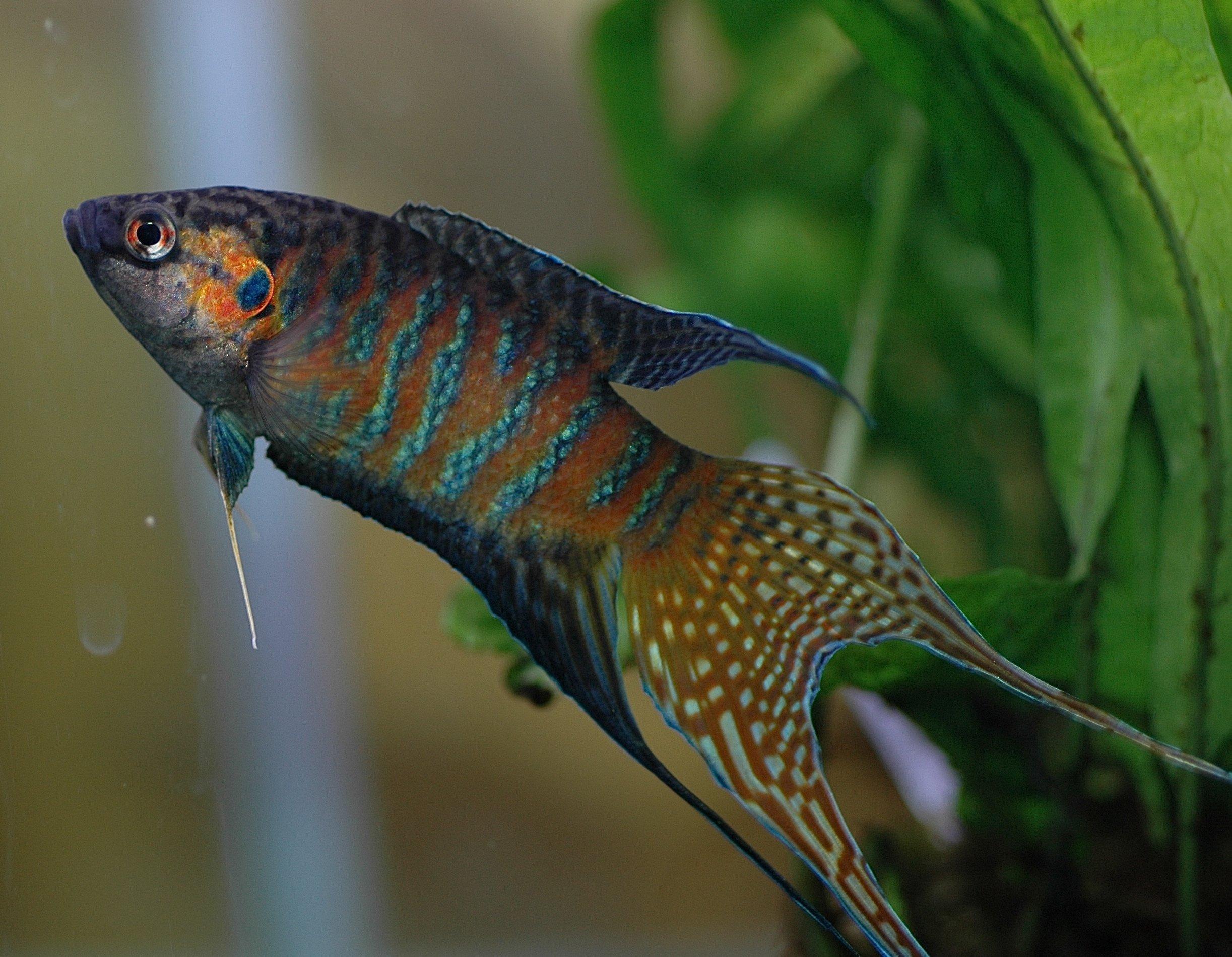 Pinoy Ghost Longfin Angelfish