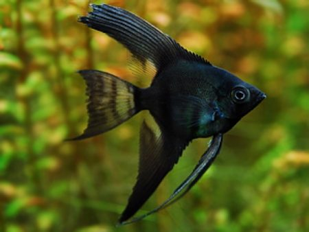 Pinoy Black Longfin Angelfish