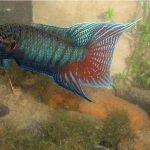 Blue Red Cheek Angelfish
