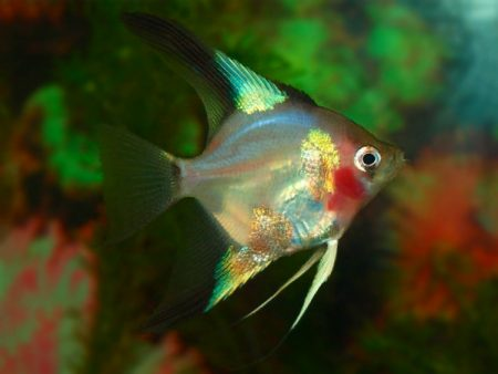 Blue Red Cheek Angelfish