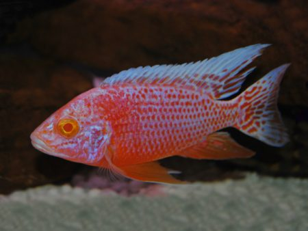 Aulonocara sp. Red Pink Albino