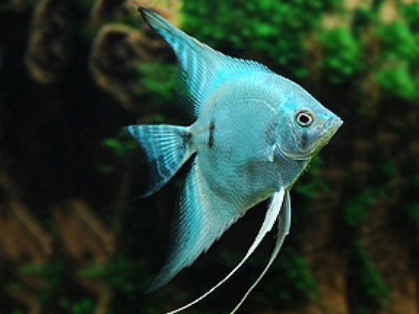 Blue Diamond Angelfish