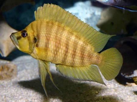 Altolamprologus compressiceps «Gombe»