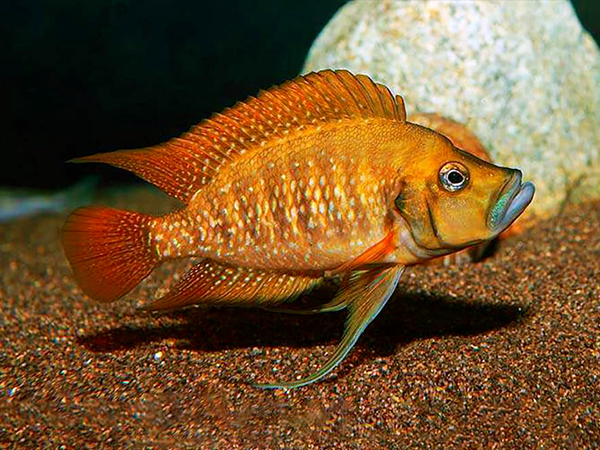Altolamprologus compressiceps «Red Fin Kagunga»