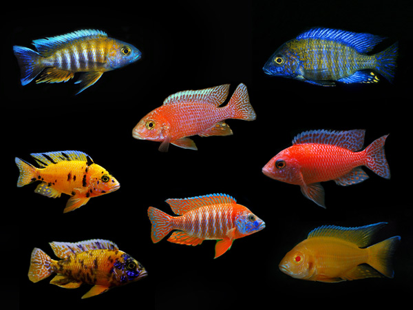 Assorted Aulonocara Species