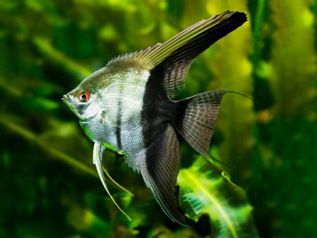 Bicolour Angelfish