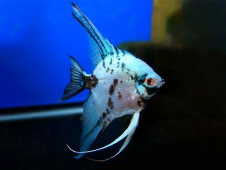 Blue Dalmatian Angelfish