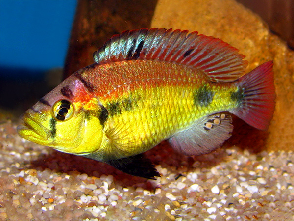 Haplochromis sp. Yellow Belly