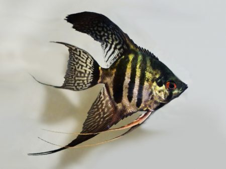 Pinoy Zebra Longfin Angelfish