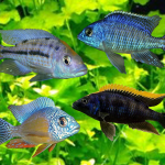 Selected Assorted Malawi Cichlids