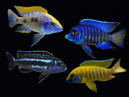 Assorted Malawi Cichlids