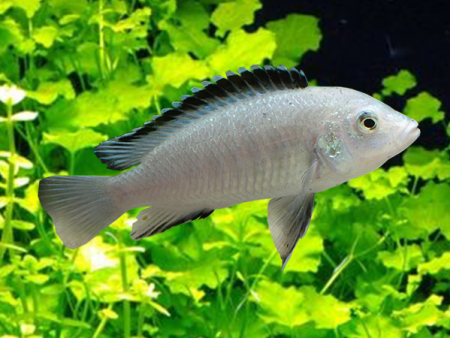 Labidochromis sp. White