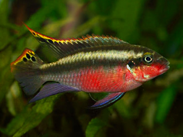 Pelvicachromis pulcher «Super Red»