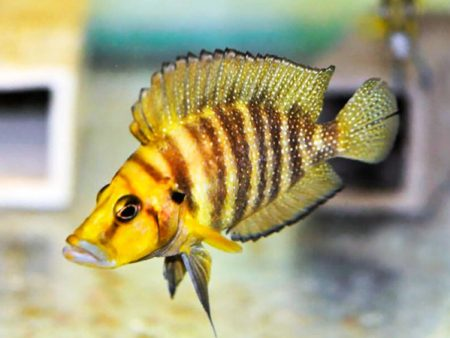Altolamprologus compressiceps «Gold»