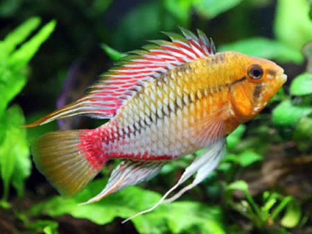 Apistogramma hongsloi «Red Gold»