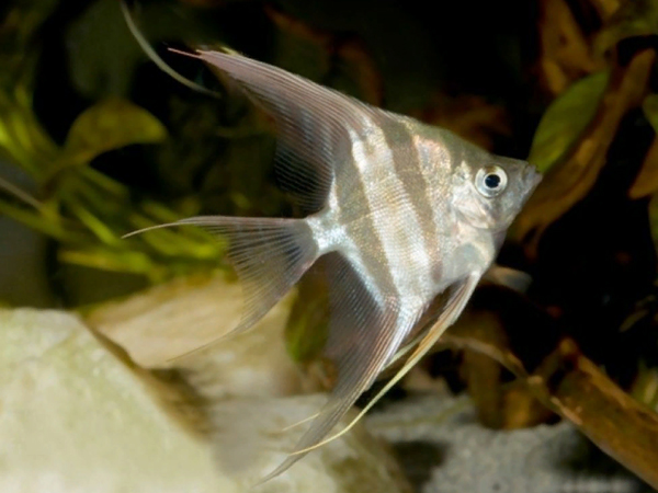 Dantume Wild Form Angelfish