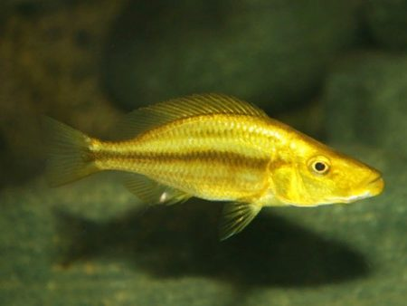 Dimidiochromis compressiceps «Gold»