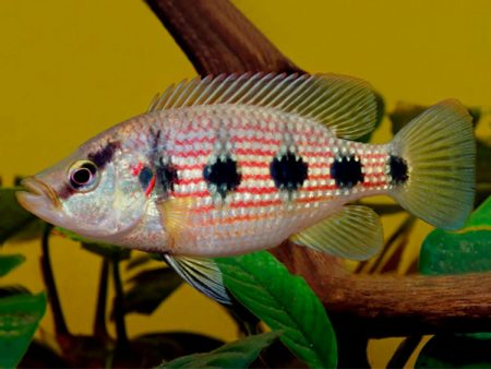 West African Cichlids