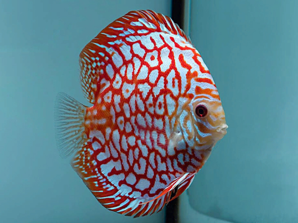 Turquoise Checkerboard Discus