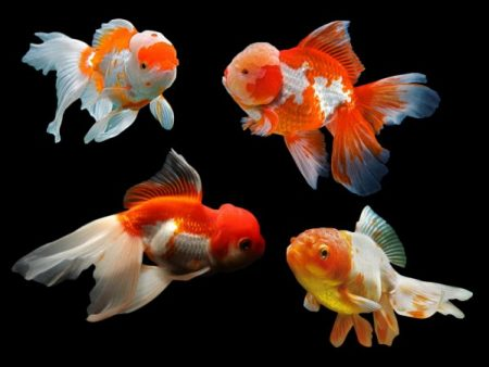 Assorted Oranda Goldfish