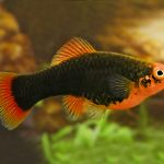 Red Parrot Platy