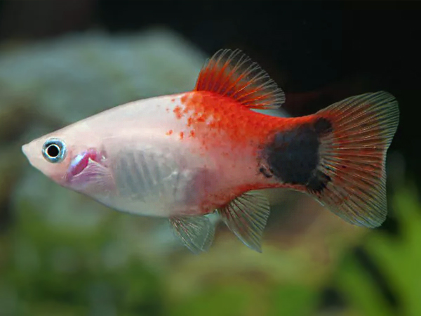 Red Top Mickey Mouse Platy