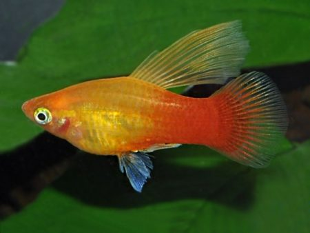 Sunset Highfin Platy