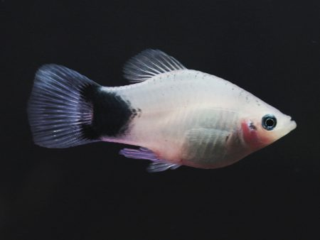 White Mickey Mouse Platy
