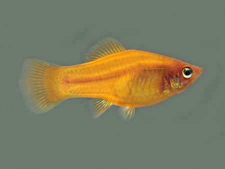 Orange Gold Variegated Platy