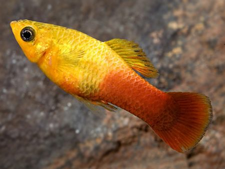 Sunset Variegated Platy