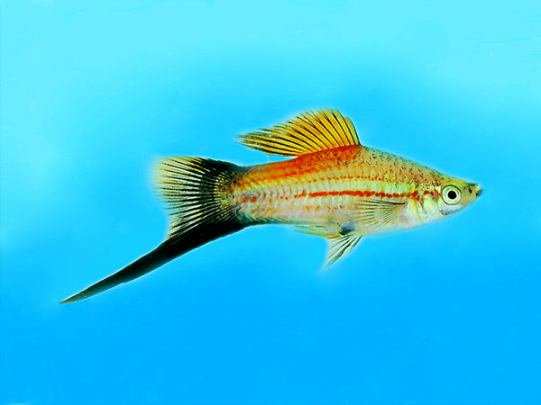 Green Wagtail Swordtail