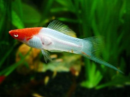 Albino Koi Swordtail