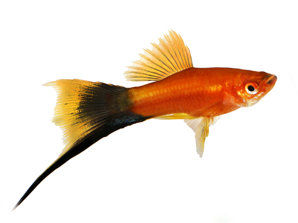 Black Red Delta Swordtail