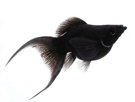Black Lyretail Sailfin Balloon Molly
