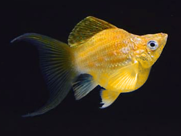 Golden Lyretail Sailfin Balloon Molly
