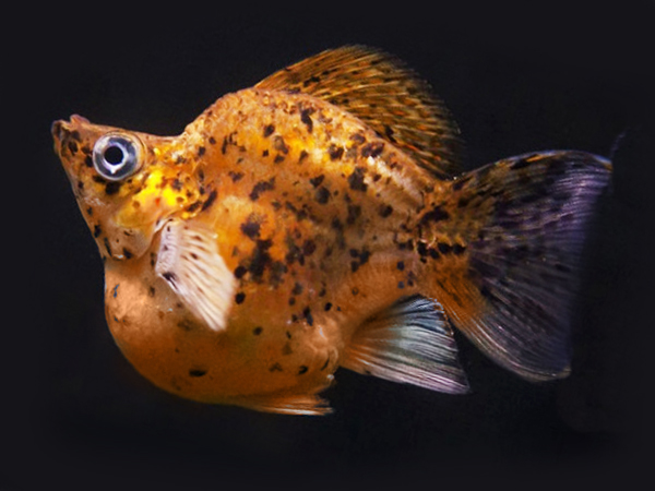 Gold Leopard Sailfin Balloon Molly